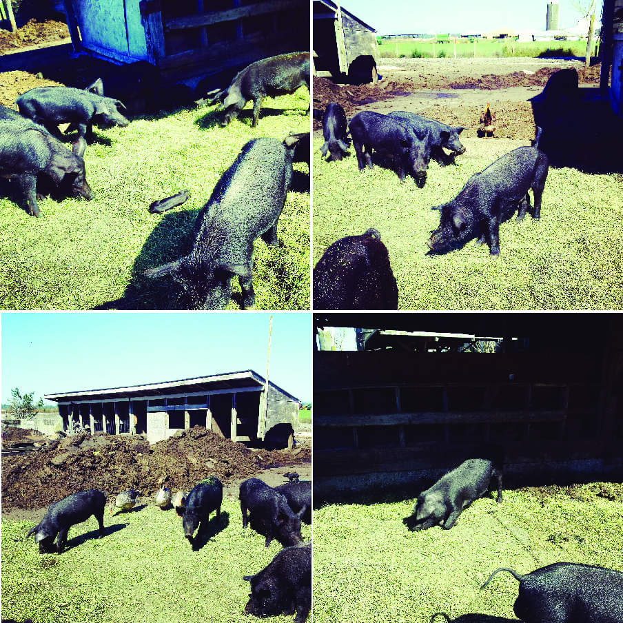Heritage Lane Farm, Pig Farm, Whatcom County Farm Tour, Farm to Fork, Pork, Pigs, Sheep