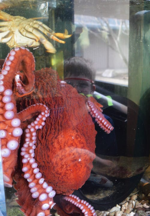 Octopus, Marine Life Center, Bellingham