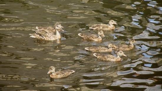 Waterfront Trail Ducks