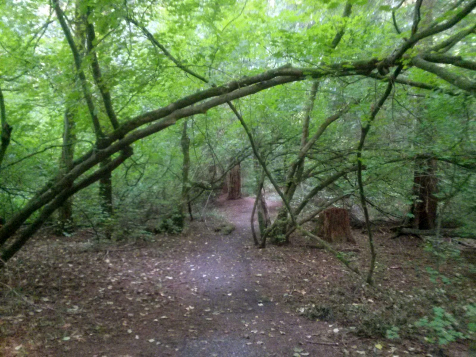 Tree arches over path, Jensen Family Forest