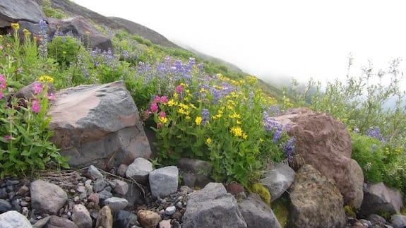 HeliotropeRidgewildflowers