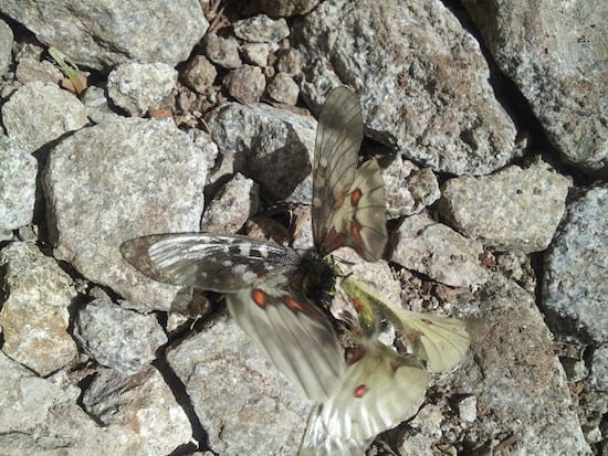 HanneganPassButterflies