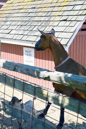 A hungry goat, Hovander Homestead, Ferndale