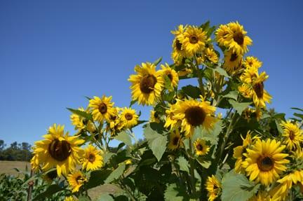 Sunflowers, Hovander Homestead, Ferndale