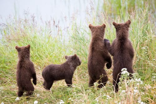 Kenneth Kearney Photography brown bear cubs bellingham whatcom tourism art
