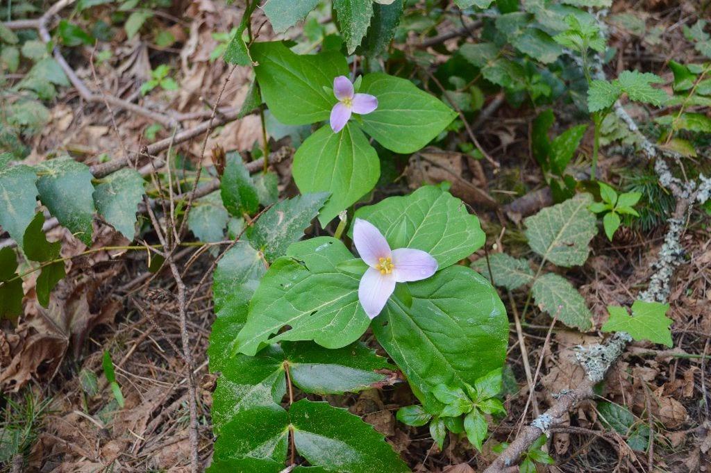 Trilliums, Hundred Acre Wood, Bellingham