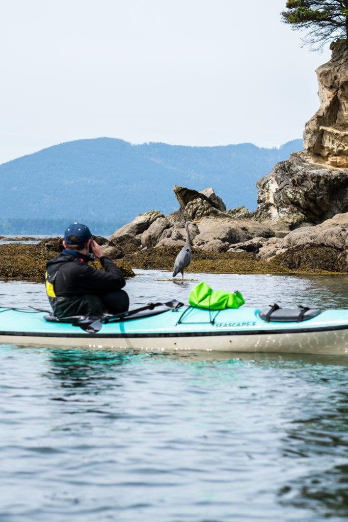 Bellingham Kayaking Great Blue Heron Franz Neumeier1099