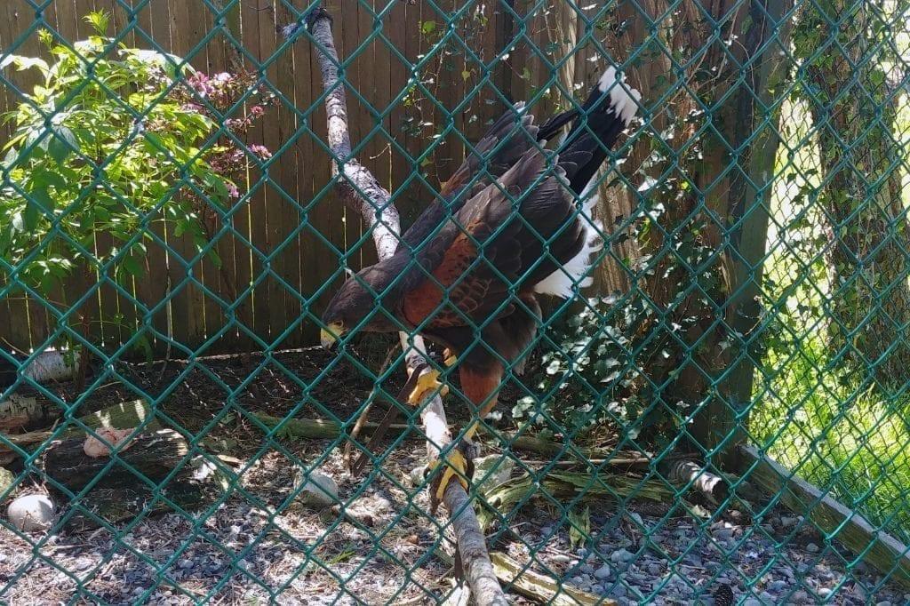Sardis Raptor Center Heyoke Hawk Ferndale