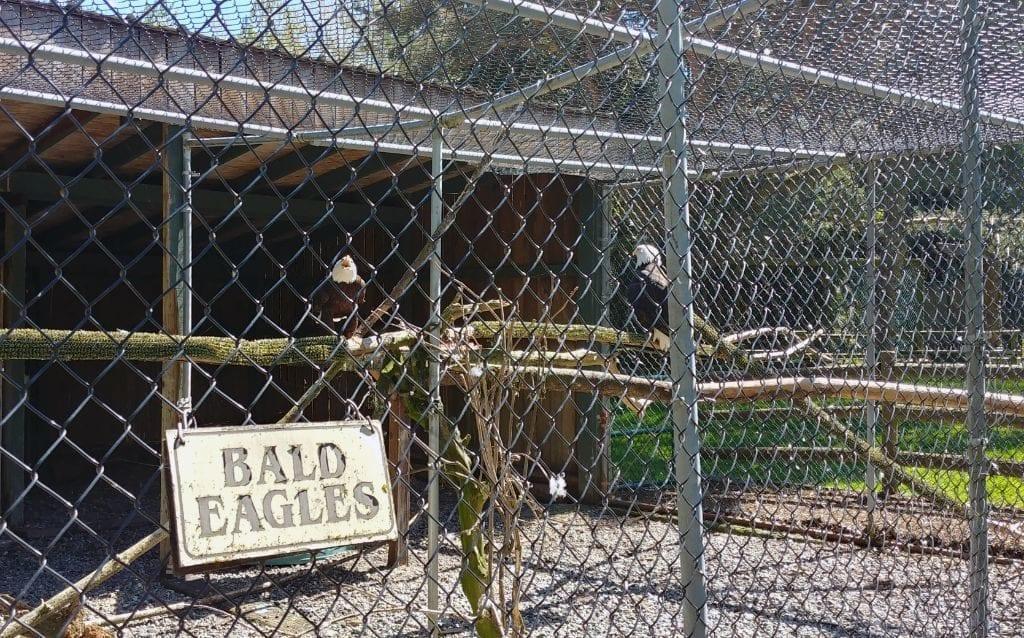 Sardis Raptor Center Eagle Enclosure Ferndale