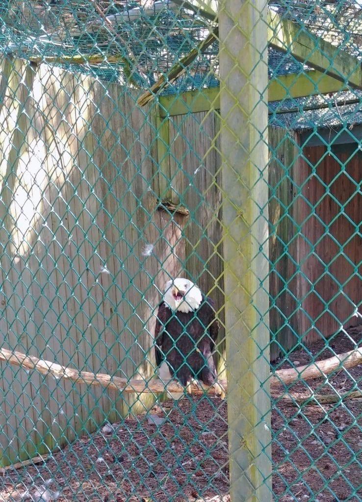 Sardis Raptor Center Einstein Eagle Ferndale