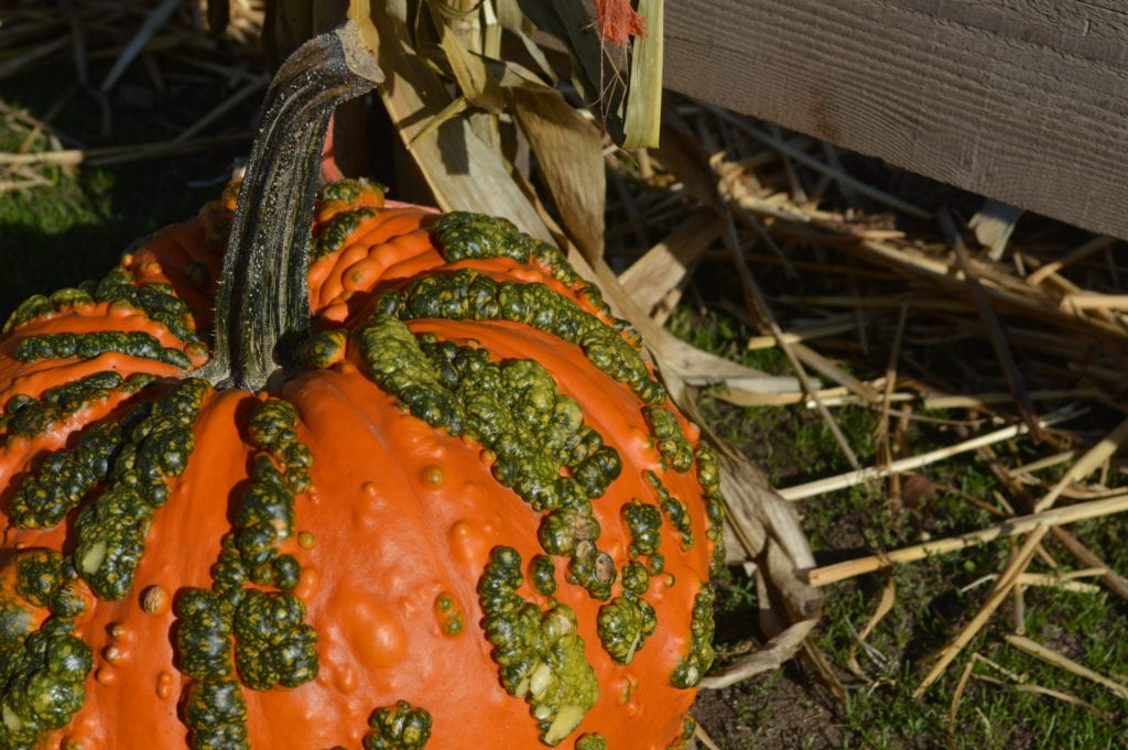 Dan Cramers Western Town Pumpkin Patch Bellingham Whatcom County (2)