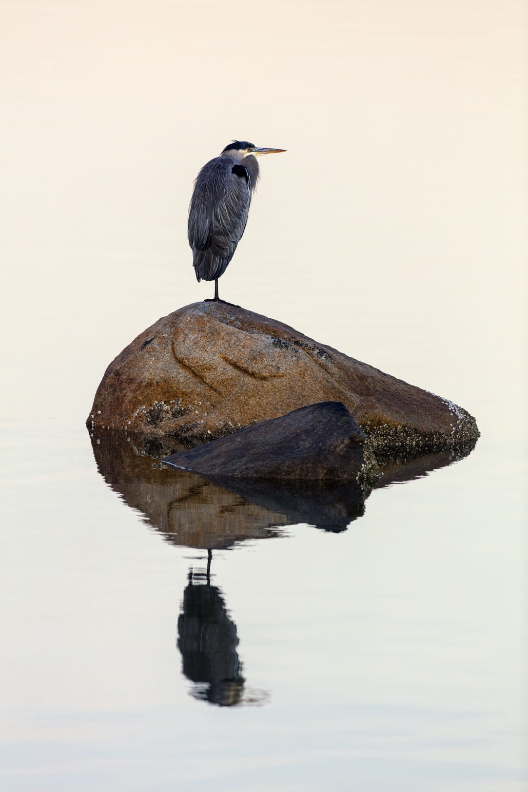 Heron Semiahmoo Spit Bird Watching David Jolly Whatcom County Bellingham Washington 1 22
