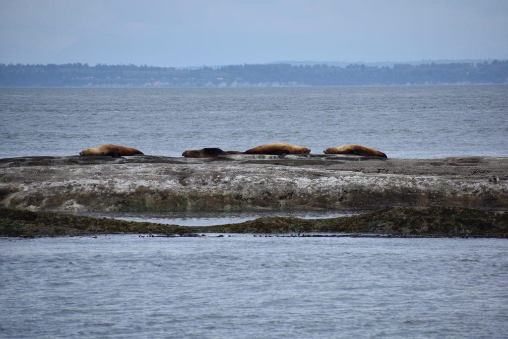 San Juan Cruises Whale Watching Bellingham Washington (274)