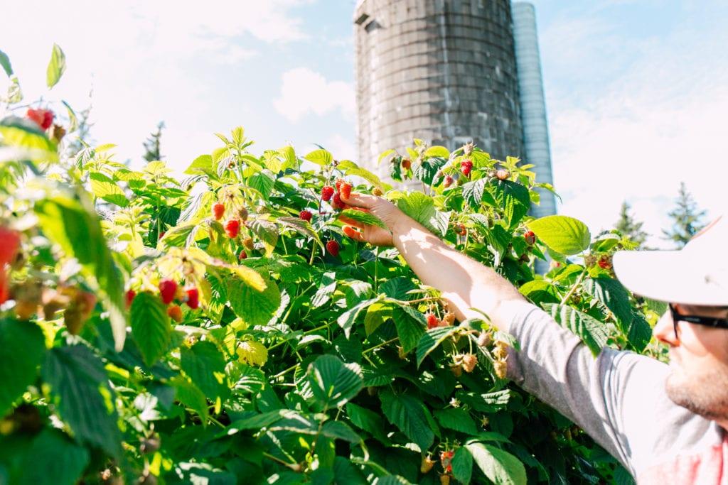 Raspberry Picking Bellingham (1)