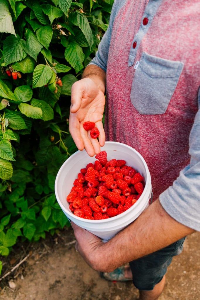 Raspberry Picking Bellingham (3)