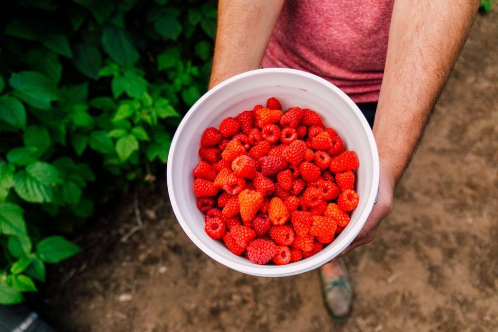 Raspberry Picking Bellingham (4)